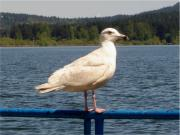 A gull at Art Mann Park