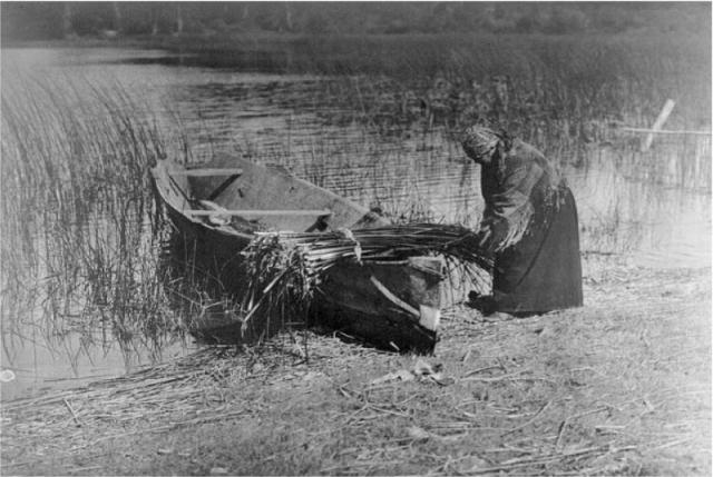 Gathering reeds at Quamichan Lake