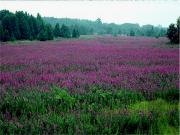 Purple Loosestrife (Invasive)