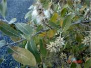 Willow (Salix spp.)
